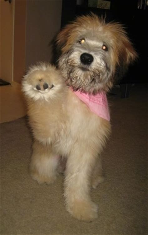 Soft Coated Wheaten Terrier Pictures, 4