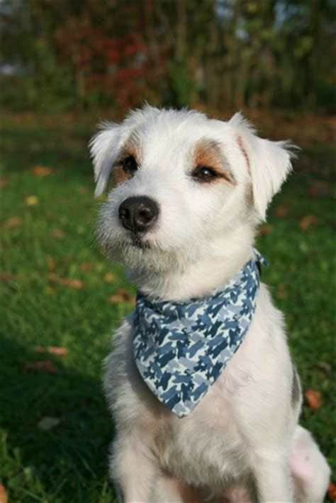 Parson Russell Terrier Grooming Bathing and Care - Espree