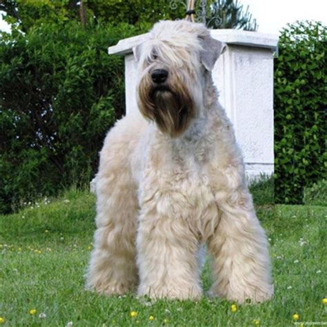 Soft Coated Wheaten Terrier Breed Guide - Learn about the